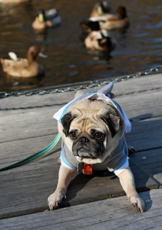 Sif ignores the ducks in favor of treat
