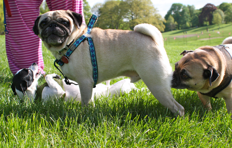 PUG SLOPE » Blog Archive » Winnemac Park Pug Pack